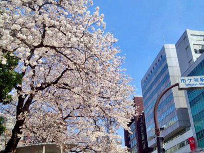 事務所前の桜