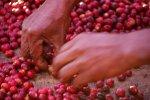 画像3: 有機生豆1kg 2020_21クロップ (3)