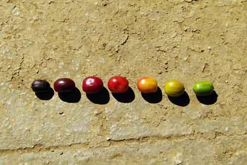 一本のコーヒーの木にも、様々な状態のコーヒーチェリーがある