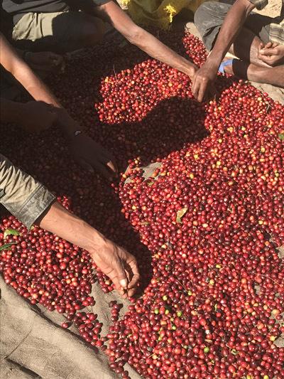 収穫されるコーヒーチェリー